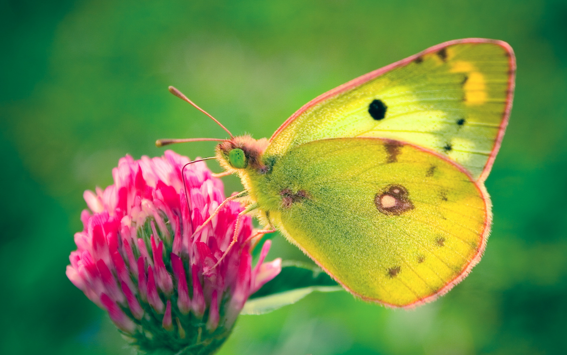 Colias hyale бабочка